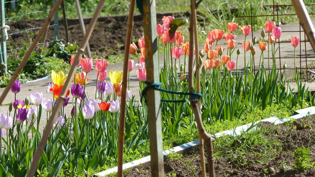 tulipanes desde huerta